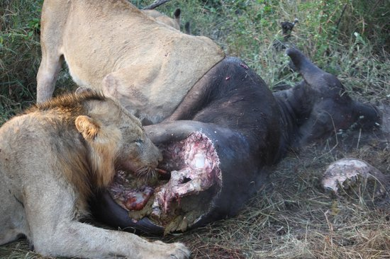 Simbambili Game Lodge : Lion on buffalo kill
