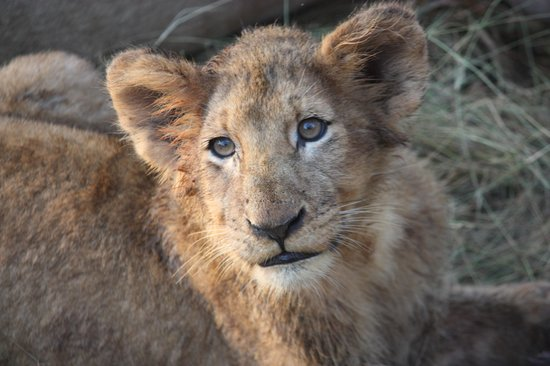 Simbambili Game Lodge : Lion cub
