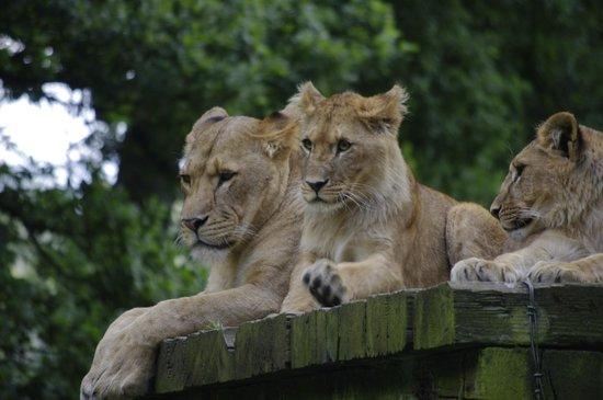 Longleat: LION'S ZONE