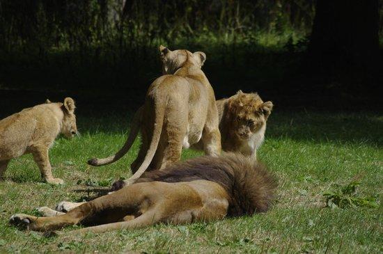 Longleat: LION ZONE
