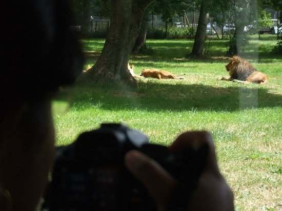 Longleat: PASSING THROUGH TIGER'S ZONE