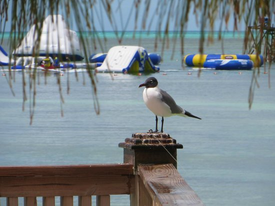seagull enjoying the day picture of coco cay berry islands