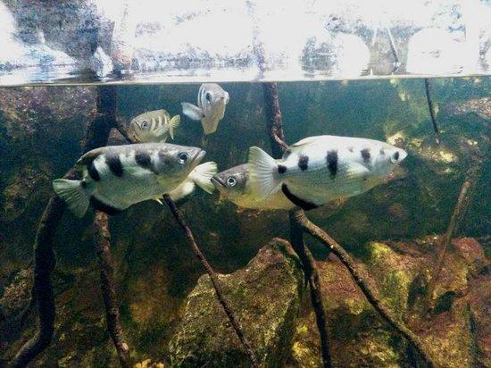 Zoo Basel : Schützenfische