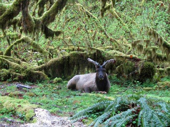 Hoh Rain Forest: Elk near the trail