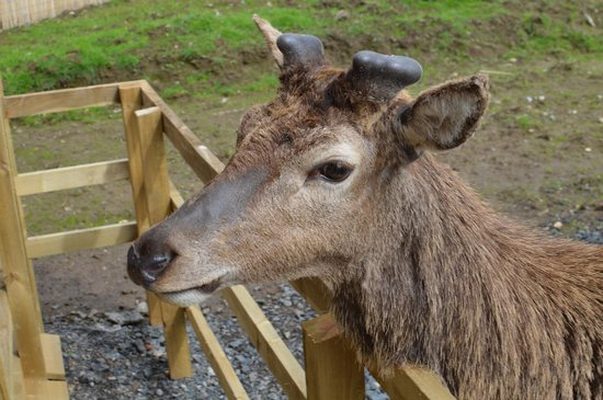 Highland Safaris: A deer