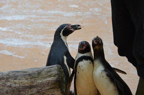St Andrews Aquarium: Pinguin