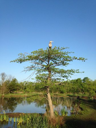 Kenilworth Park and Aquatic Gardens: Great Blue Heron in a tree