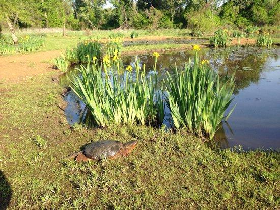 Kenilworth Park and Aquatic Gardens: Turtle