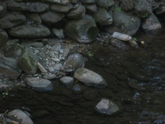 Zoders Inn & Suites: Surprised to see a raccoon fishing in the stream under our balcony