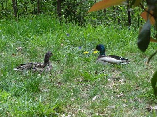 Center Parcs Le Lac d'Ailette : Deux canards devant la terrasse le jour de notre arrivée