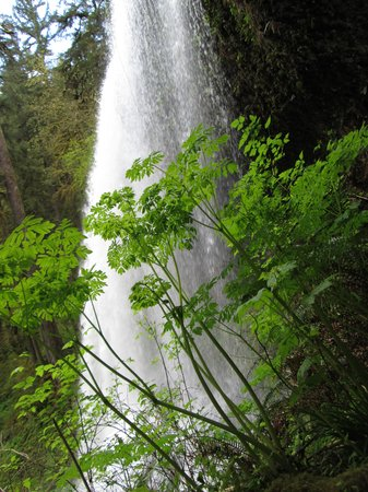Oregon Garden: Incredible Beauty of Silver Falls State Park nearby