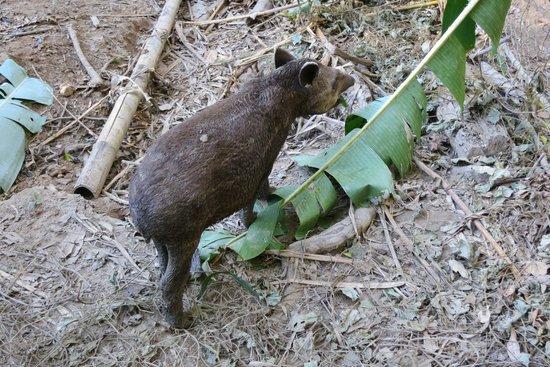 Amazon Planet: Baby tapir