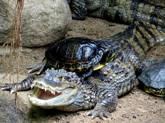 Zoologischer Garten (Berlin Zoo) : crocodile and turtle