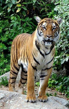 Zoologischer Garten (Berlin Zoo) : tiger