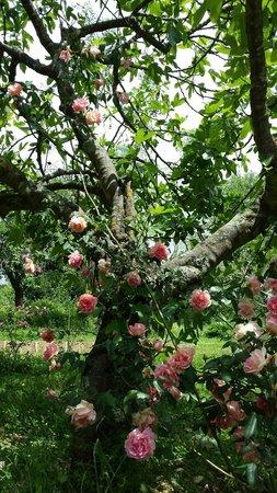 CasaCoco': rosa rampicante