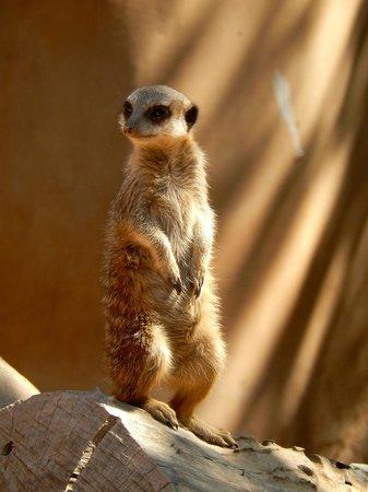 Wildlife World Zoo and Aquarium : Meerkat