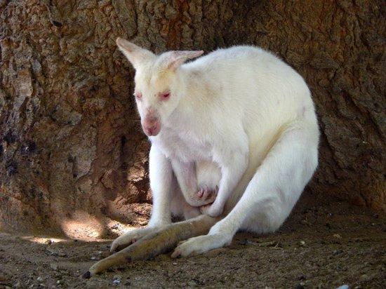 Wildlife World Zoo and Aquarium : Albino kangaroo