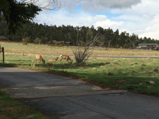 Rams Horn Village Resort: Elk right around the corner