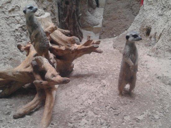 Zoologischer Garten (Berlin Zoo) : Suricatos
