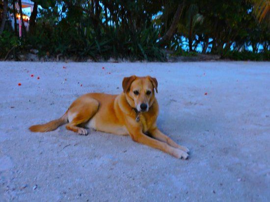 Cocotal Inn & Cabanas: Mara the wonder dog! Resident escort, companion and giver of affection.