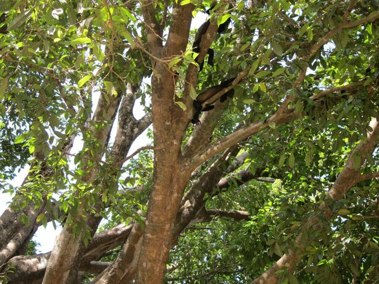 Mardigi Tours: howler monkeys