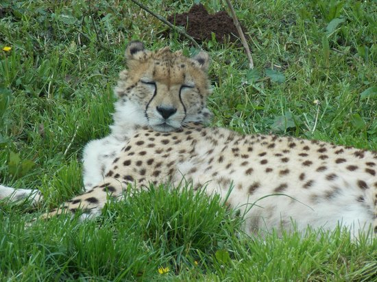 Paignton Zoo Environmental Park: Cheetah