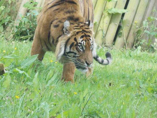Paignton Zoo Environmental Park: Tiger