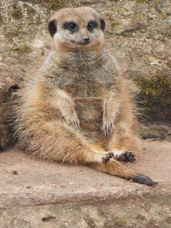 Paignton Zoo Environmental Park: Meerkat