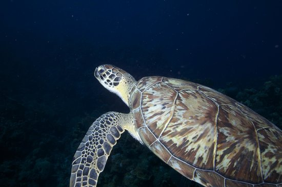 Tranquilseas Eco Lodge and Dive Center: Hawksbill Turtle
