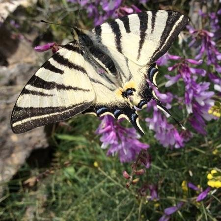 Flowers of Crete: Swallowtail butterfly? Katharo plateau.