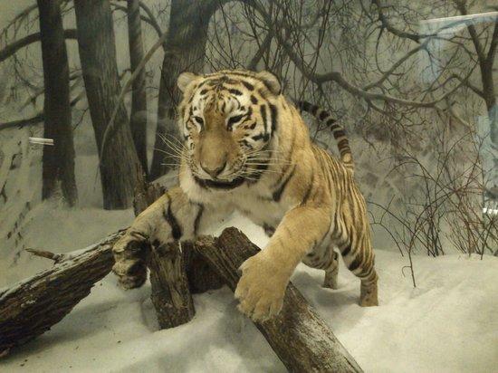 Museo de Historia Natural: Тигр