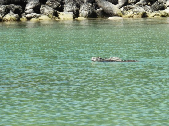 Galapagos Beach at Tortuga Bay: Iguana de mar