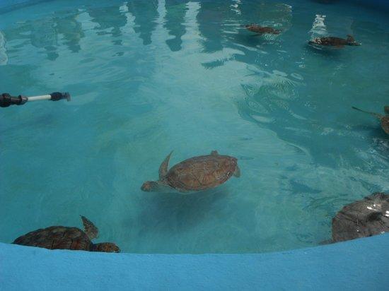 Sea Turtle Hatchery: tarta