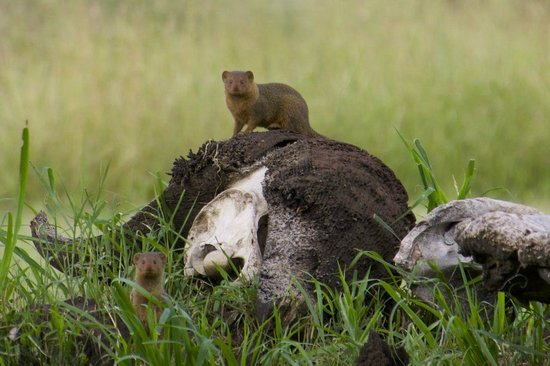 Dunia Camp, Asilia Africa: Mongoose were very friendly in the camp.