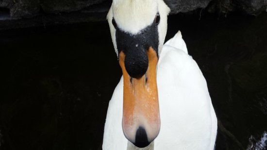 Bonaventure Resort & Spa : Local Swan