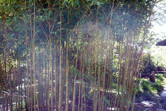 Golden Gate National Recreation Area : Bamboo
