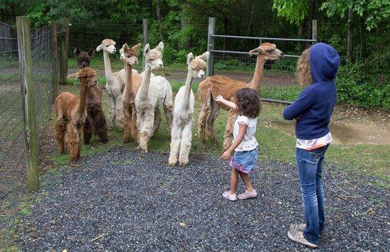 Lasso the Moon Alpaca Farm: alpaca farm
