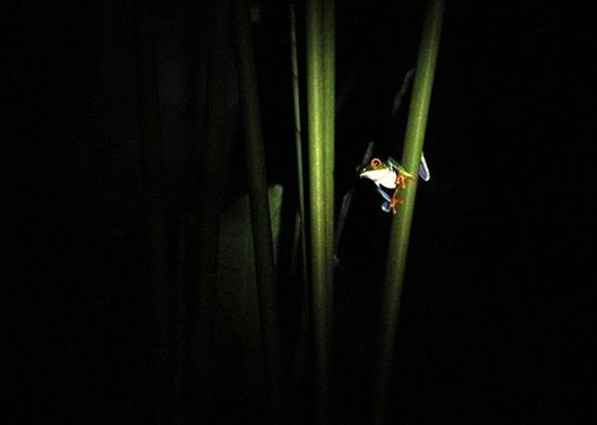Ecocentro Danaus: Super awesome flashlight photos of tree frogs!