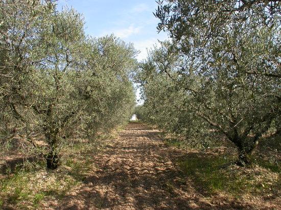 Fontvieille, Frankrig: Pascal se fera un plaisir de vous parler de nos oliviers