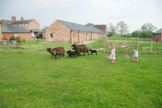 Moss Farm: the girls chasing the sheep