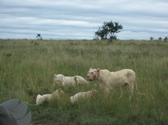 Pumba Private Game Reserve : White Lions