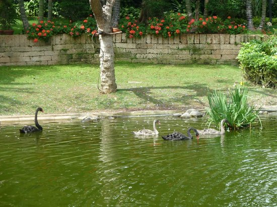 Hotel Botánico & The Oriental Spa Garden: Black swans and their young