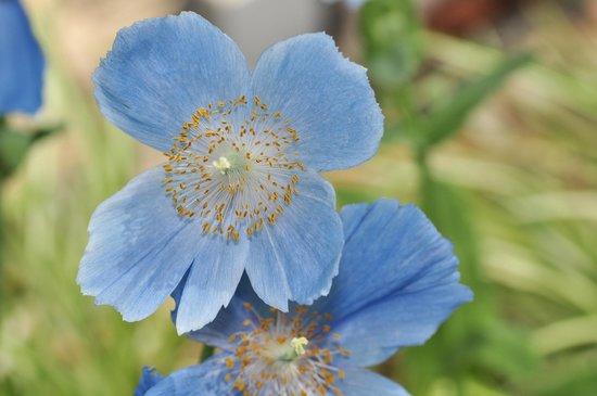 Hamamatsu Flower Park: ヒマラヤの青いケシ