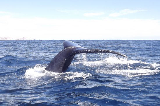 Cabo Expeditions : Whale's tale