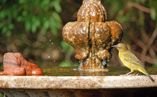 Angala Boutique Hotel and Guest House: A Cape weaver trills as he bathes