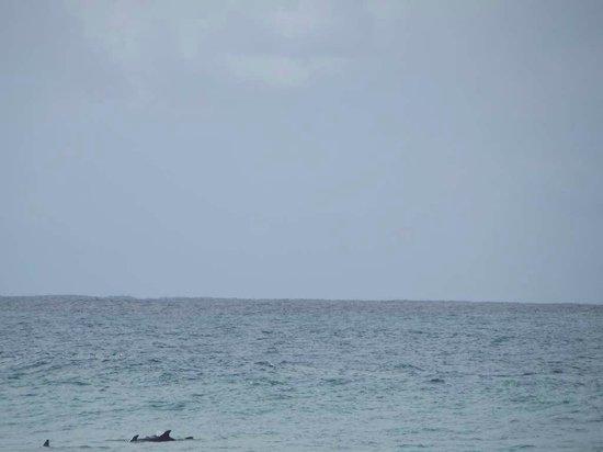 Seashells Beachfront Resort: Dolphins from the beach