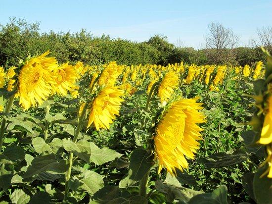 L'Echappee Belle Chambres d'Hotes : Sunflower field