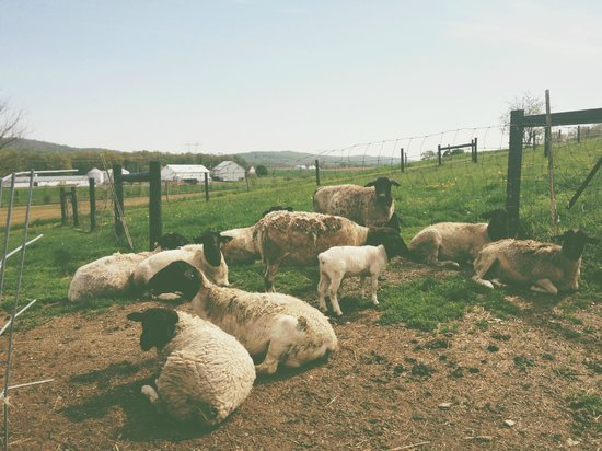 Airy Hill Farm B&B: resident dorper sheep