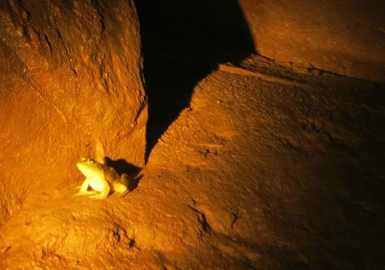Lost River Cave: The resident bull frog!