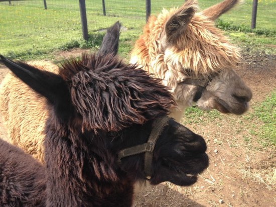 Airy Hill Farm B&B: resident alpacas